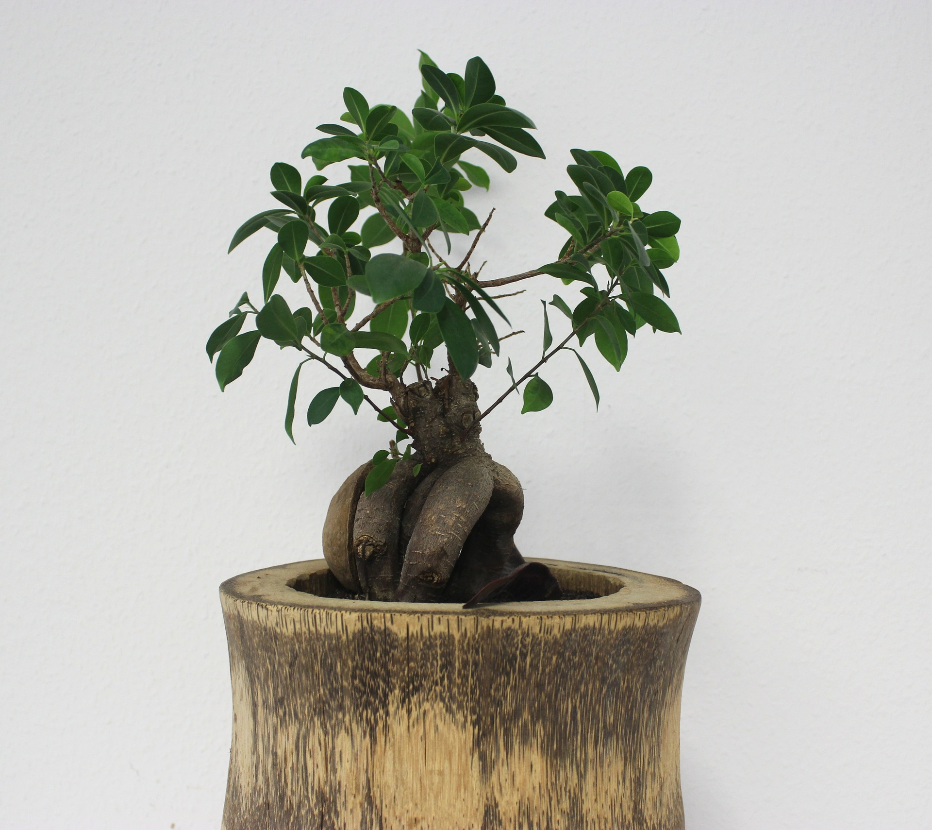 Home office feng shui decor live plants out of the office - Bonsai zimmerpflanze ...